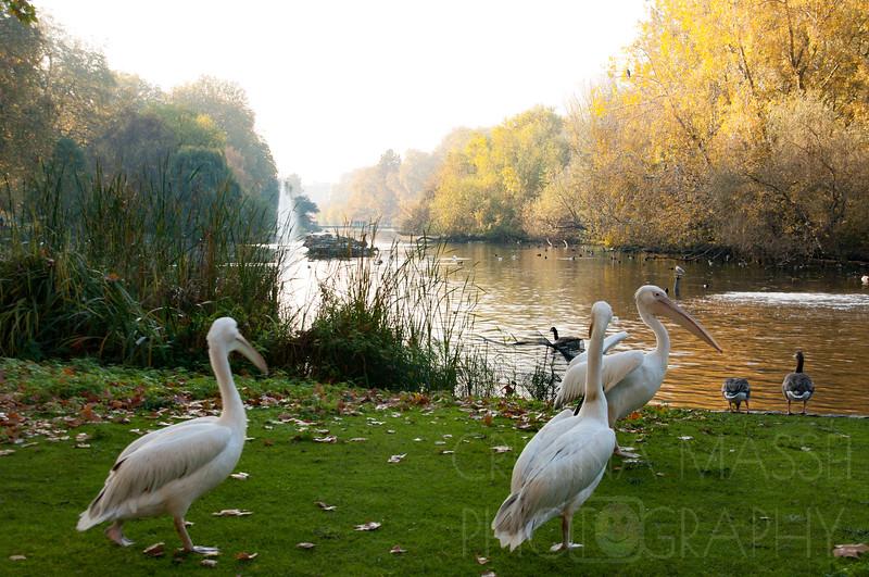 London, Westminster, St James Park, pelicans