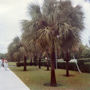 Palm tree at the University.