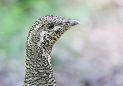 Spruce Grouse...see my reflection?