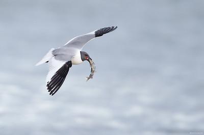 Sabine's Gull with fresh catch
