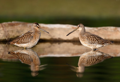 Short Billed Dowitchers