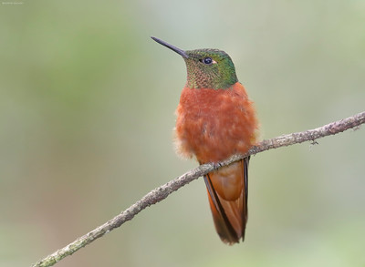 Chestnut Breasted Coronet