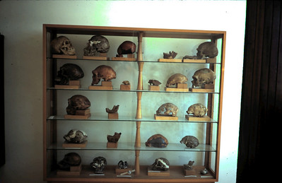 Museum exhibit - replicas of ancient skulls