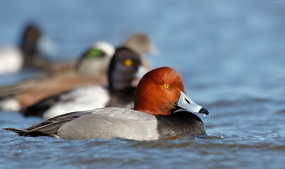 Redhead, Lesser Scaup, and American Wigeon