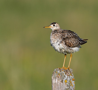 Upland Sandpiper after Bathing