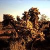 Arizona Cacti