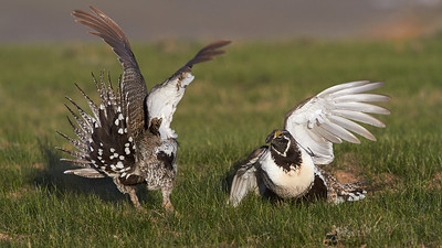 Sage Grouse Fight