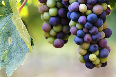 With thier 3rd or 4th year in production, the grapes are growing well for monks in the vineyards at the New Clairvaux Abbey Monastery in Vina just 18 miles north of Chico Wednesday. The Monastery is celebrating its 50th anniversary for sunday spotlight - Halley photo 7/27/05