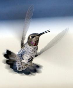 A hummingbird flutters near a bird feeder Wednesday. - halley photo 8/9/06
