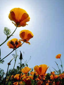 California Poppies flourish under the warm sun near the Hwy99 offramp at 8th st. Thursday. - halley photo 5/4/06