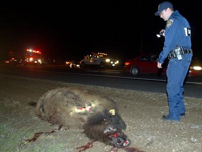 Bison Collision