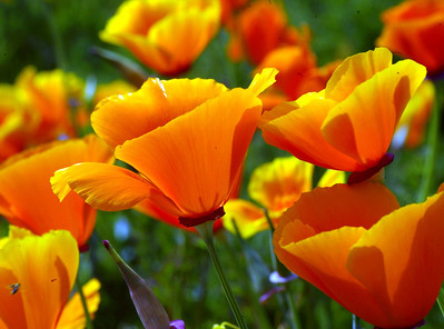 Vallambrosa Poppies