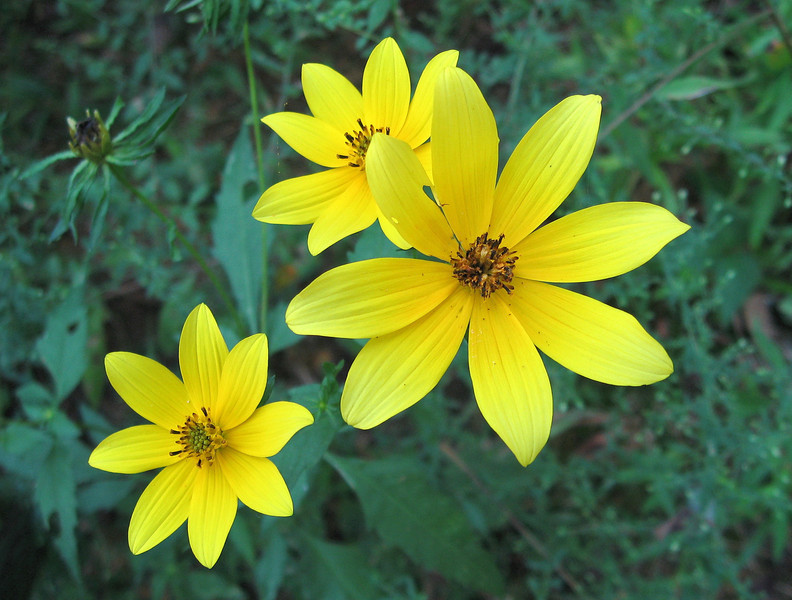 This small variety of Tennessee Sunflower are one among scores of beautiful wildflowers scattered throughout the site.
