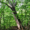 Giant Leaning Tree Guarding Trail