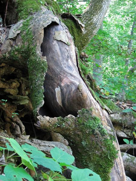 This exposed tree root is shedding its mossy bark like a giant snake shedding its skin.