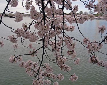 Cherry blossoms overhanging the tidal basin