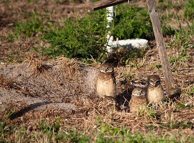 A family of burrowing owls