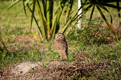 A burrowing owl on watch patrol