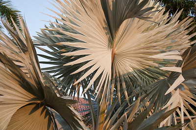 The fronds of a Bismark Palm