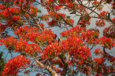 A flowering Royal Poinciana, also know as a Flamboyant, or Flame tree.