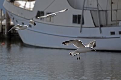 Seagulls in mid-flight