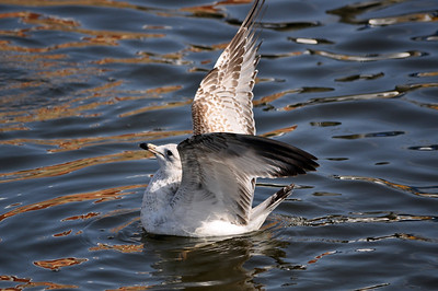 A young seagull