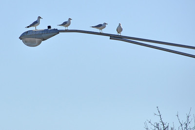 Gulls gathered on a street lamp - by the looks of the light, it looks like a popular hangout!