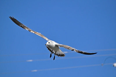 Soaring over the water in search of food