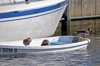 These ducks appear to have staked a claim on this dinghy