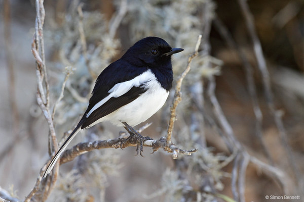 Madagascar Magpie-Robin