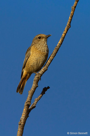 Forest Rock Thrush