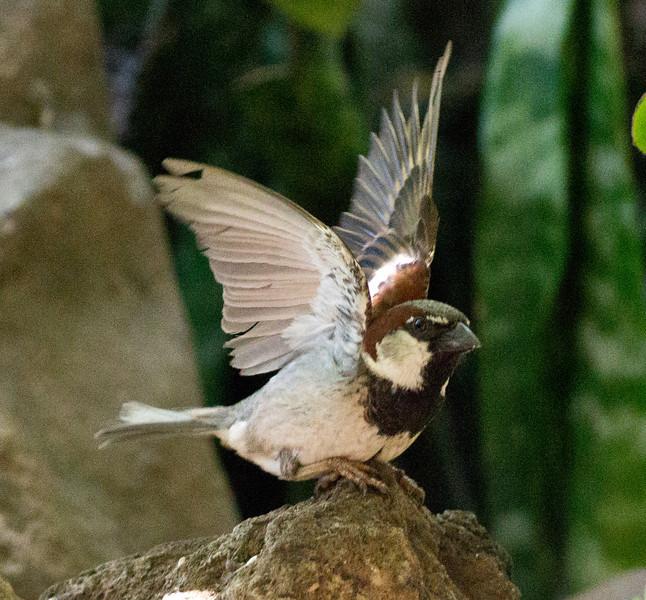 House Sparrow Leucadia 2011 06 25-2.CR2