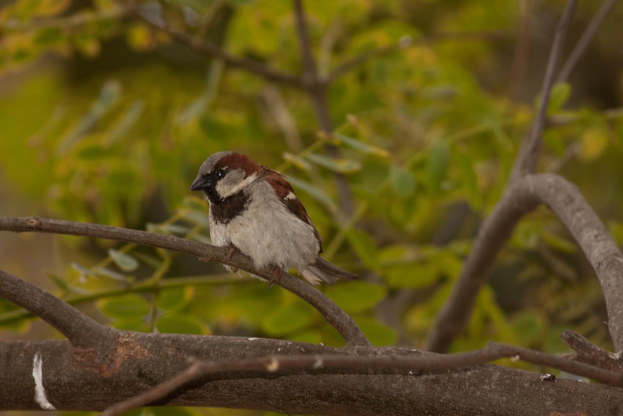 House Sparrow  Leucadia  Ca  05 25 10