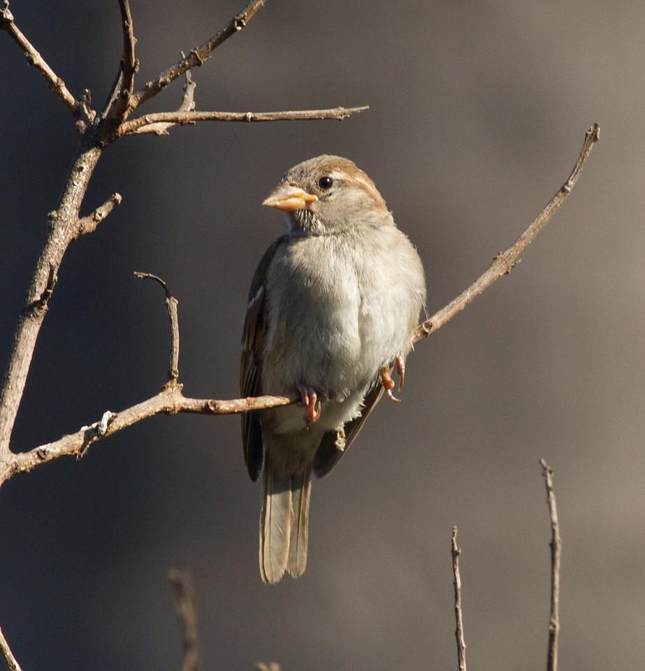House Sparrow  Encinitas 2013 06 27 (1 of 1).CR2