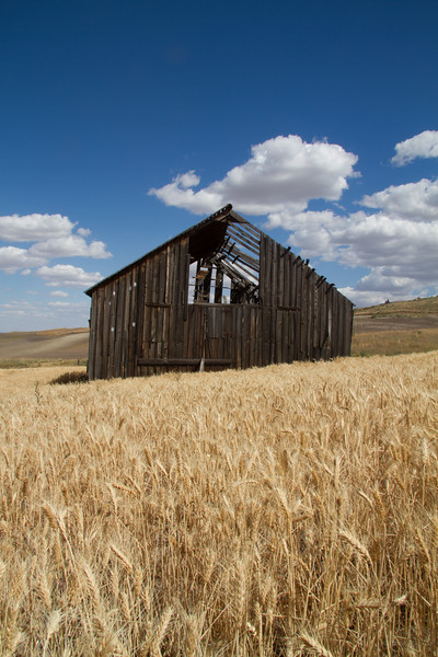 Weathered barn in ripe wheat field.