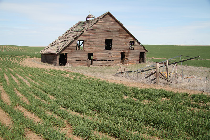 Decaying barn in wheat field