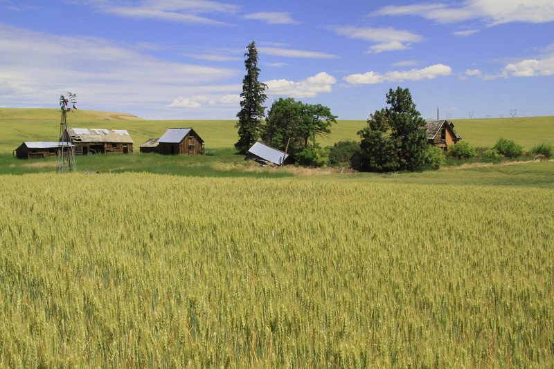 Abandoned farmhouse in wheat field.