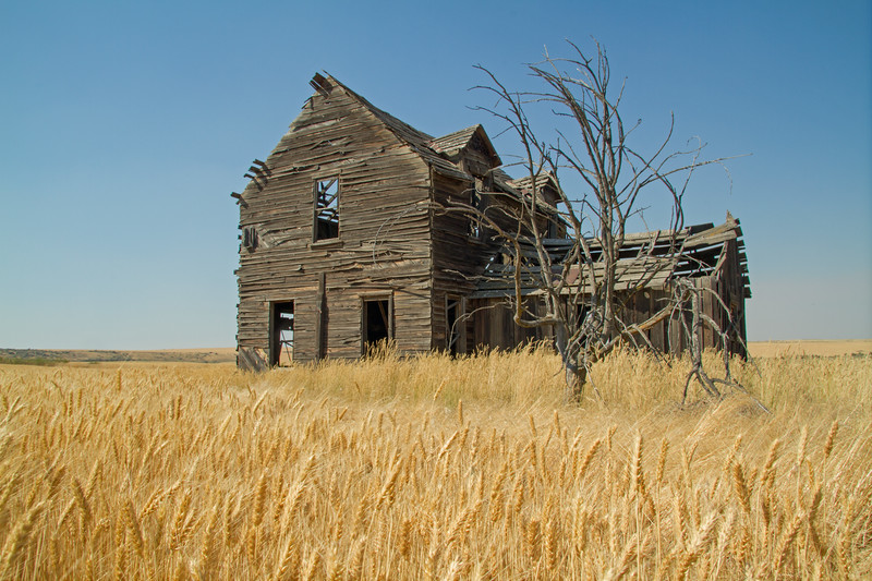 Abandoned farm house near ripe wheat.