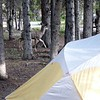 This sneaky mule deer and its buddy meandered through camp (Many Glacier). One of them stole our neighbor's camp tag and swallowed it. They came through again the next night.