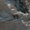 This little guy (big-horned sheep?) appeared a little confused and stuck.