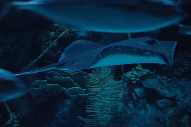 Stingray inside the shark tunnel.