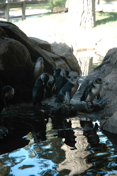 The adorable little blue penguins outside Scott Aquarium.