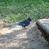 At camp, a steller's jay kept us company (and stole Winston's food when he got tired of eating it) for three days.