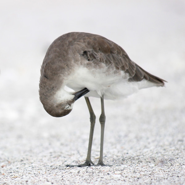 """""""The worse my drawings were, the more beautiful did the originals appear."""" - John James Audubon. Willet, Lover's Key State Park, Estero, FL."""