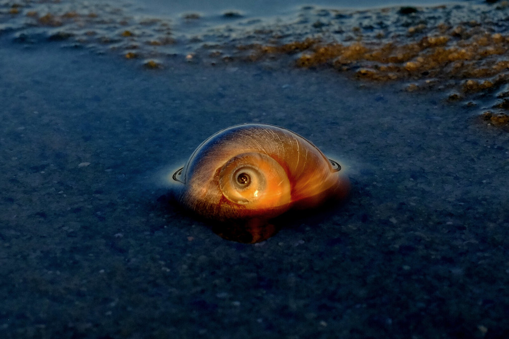 Between the Moon and the Sun. Brewster Flats, Cape Cod, MA. Moon snail at first light on the low tide.