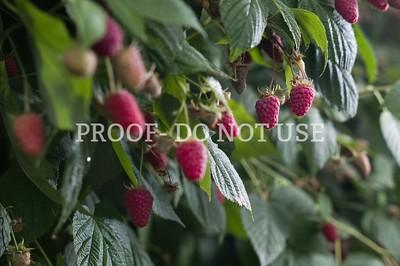 Raspberries 066