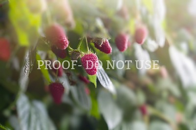 Raspberries 062