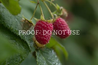 Raspberries 092