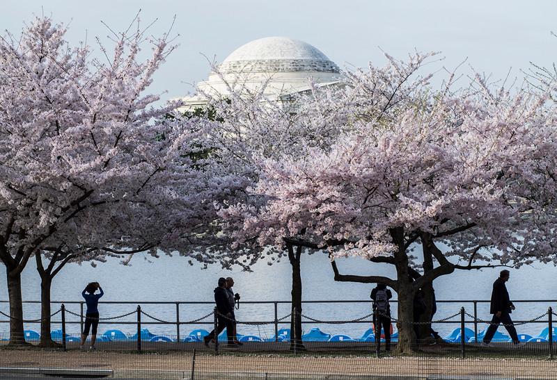 people enjoying cherry blossoms
