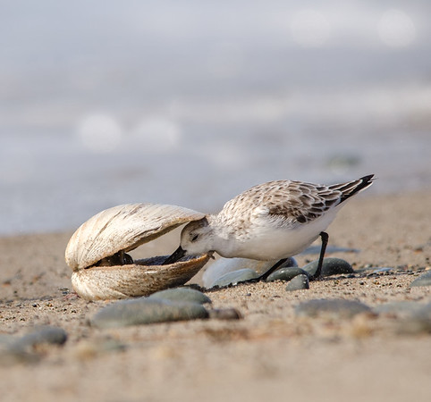 Sanderling @ Martinique Beach